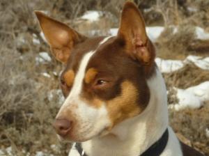 Bear Tuff's Miss EmmaLee - Standard Rat Terrier