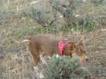Buck sneakin' through the sagebrush.