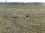 Sammie chasing Buck