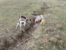 All of the Ratties checking out a mouse hole in the irrigation ditch.