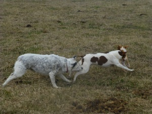 EmmaLee being play chased by our heeler, Sage. Piper is peeling away in front of Em.