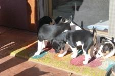 Puppies at Rat a Tat Tat